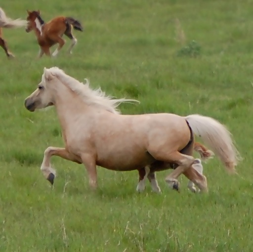 miniature horses, lucky harts bonnie by george